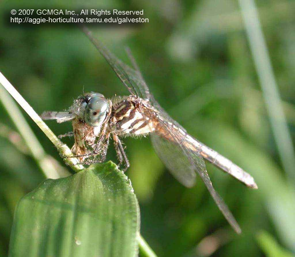 Beneficial insects in the garden: #11 Dragonflies