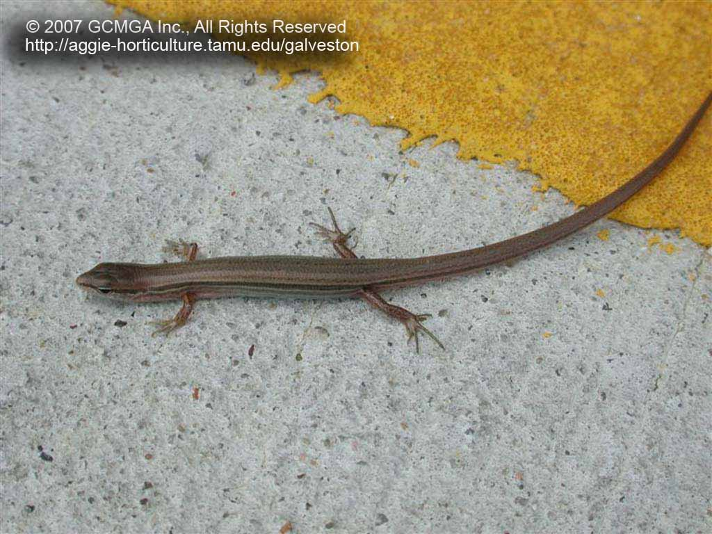 Beneficial Lizards In The Landscape 18 Skink Lizards