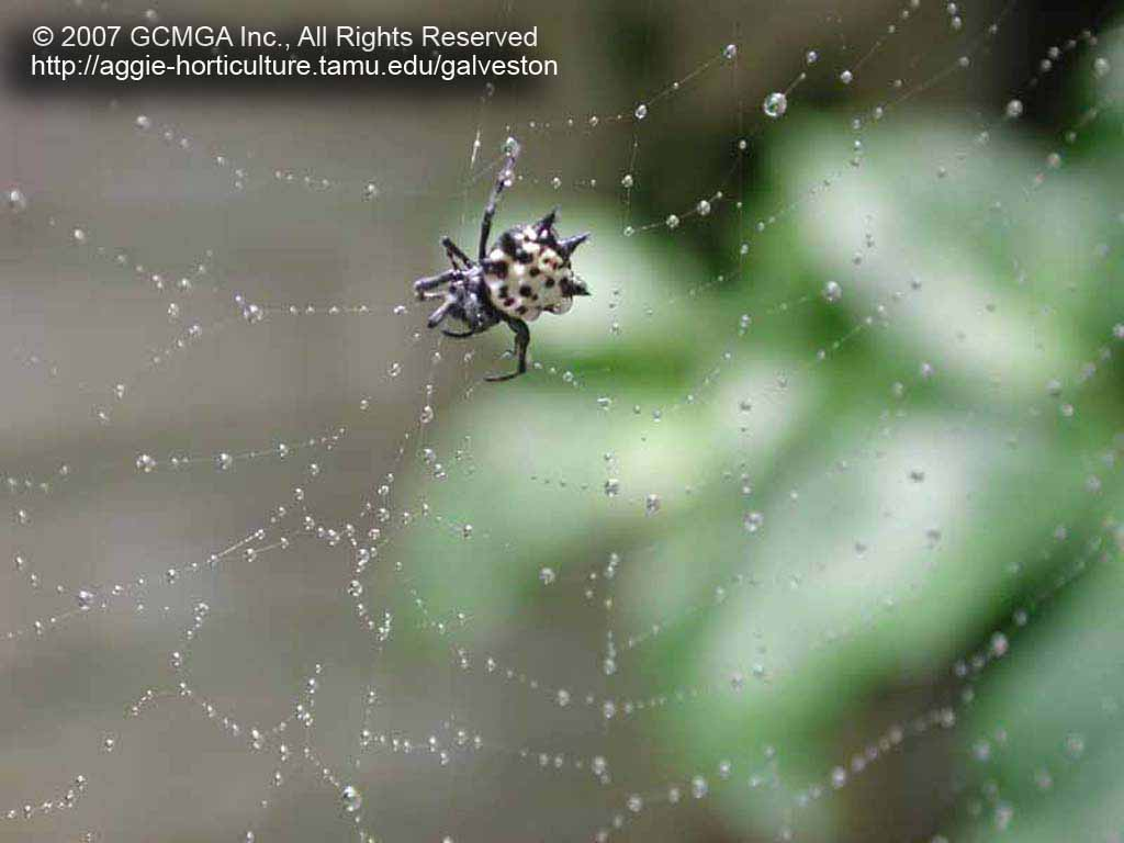 Beneficial Spiders In The Landscape 23 Spiny Orb Weaver